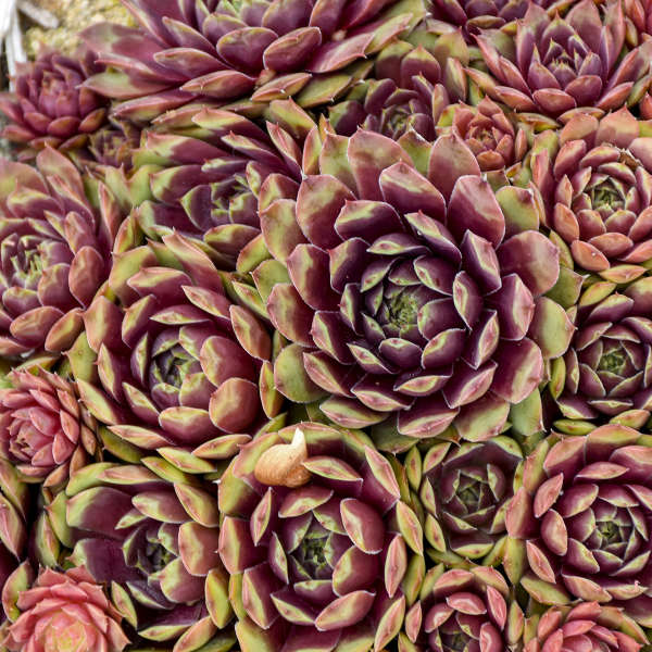 Sempervivum 'Ruby Heart' Hen & Chicks