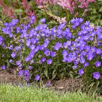 Campanula 'Violet Teacups'