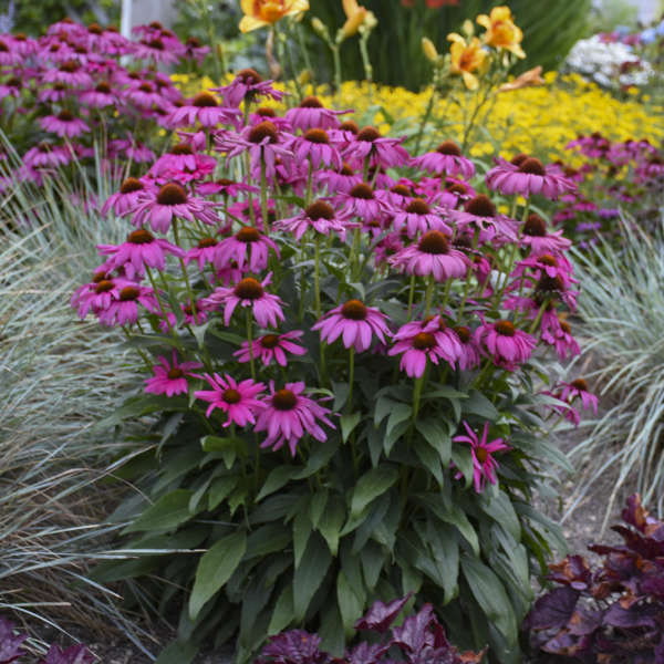 Echinacea 'Purple Emperor' Coneflower