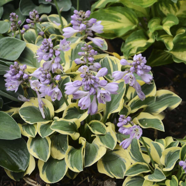 Hosta 'Mini Skirt' Hosta