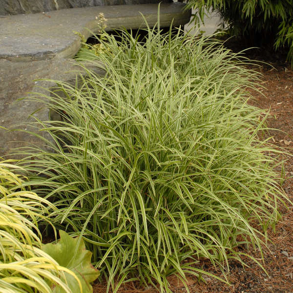 Carex morrowii 39 ice dance 39 perennial resource for Variegated ornamental grass varieties