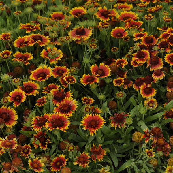 Gaillardia Goblin Perennial Resource