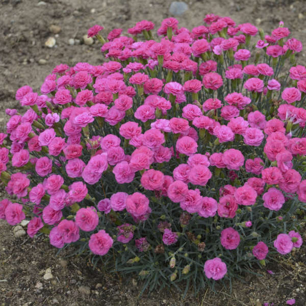 Dianthus 'Double Bubble' Pinks