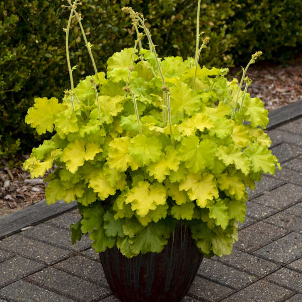Heuchera 'Lemon Love' Coral Bells