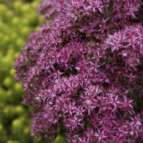 Sedum 'Mr. Goodbud' Autumn Stonecrop