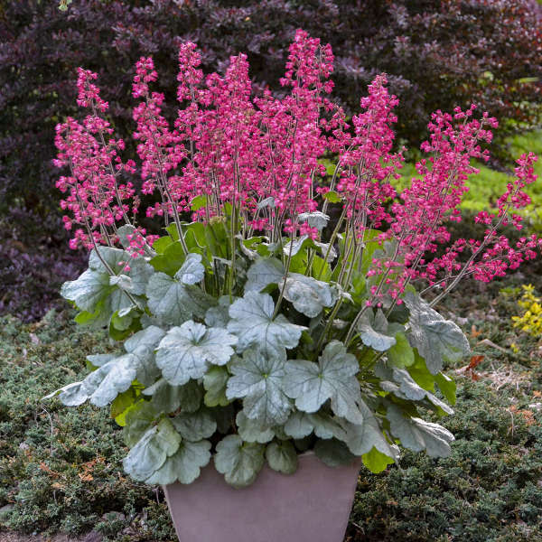 Heuchera 'Spearmint' Coral Bells