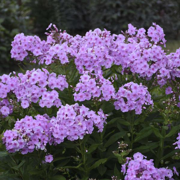 Phlox 'Uptown Girl' Tall Garden Phlox