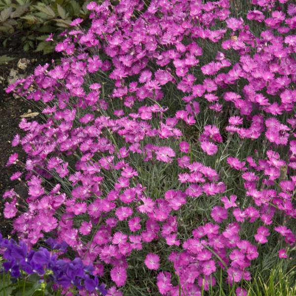 Dianthus 'Firewitch' Cheddar Pinks