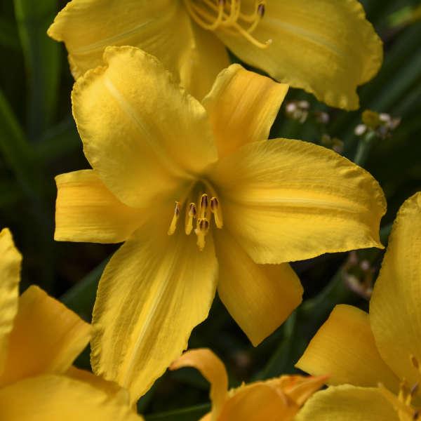 Hemerocallis 'Buttered Popcorn' Daylily