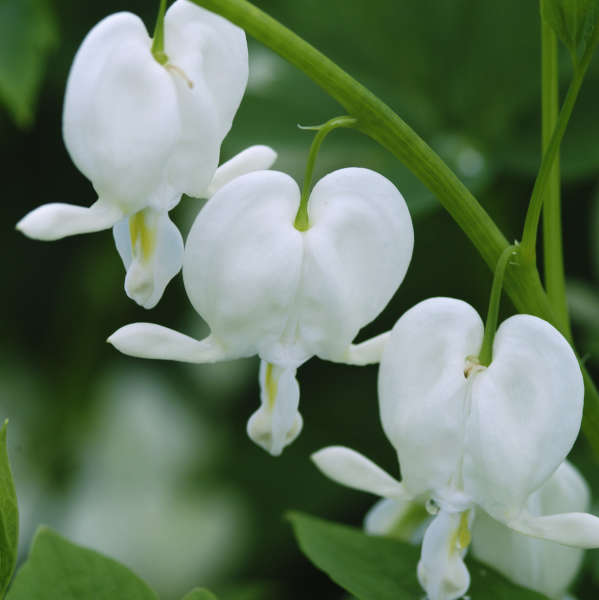 Dicentra 'Alba' Old-Fashioned Bleeding Heart