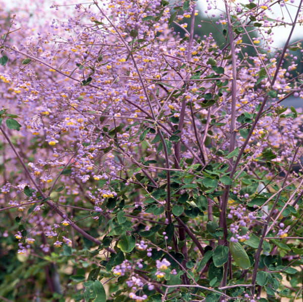 Thalictrum 'Lavender Mist' Meadow Rue