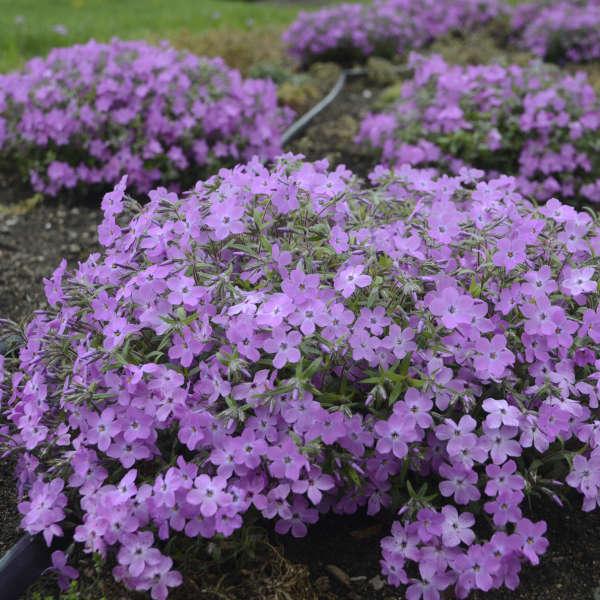 Phlox 'Rose Sprite' Hybrid Spring Phlox