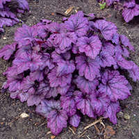 Heuchera 'Electric Plum'