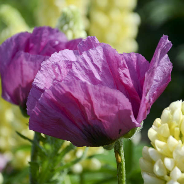 Papaver 'Plum Pudding' Oriental Poppy