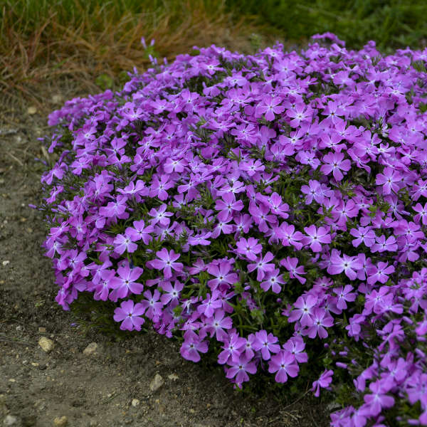 Phlox 'Rose Quartz' Hybrid Creeping Phlox