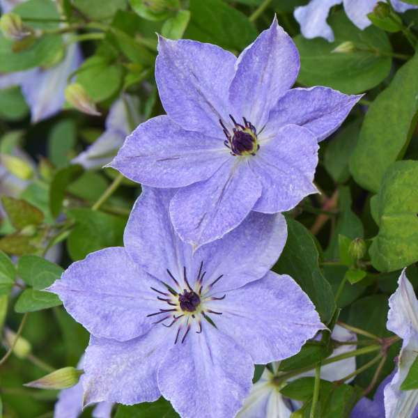 Clematis 'Skyfall' Clematis