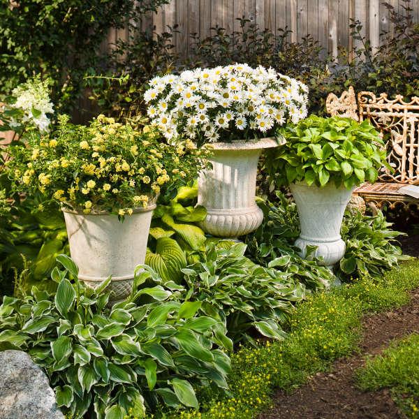 Leucanthemum DAISY MAY® Shasta Daisy