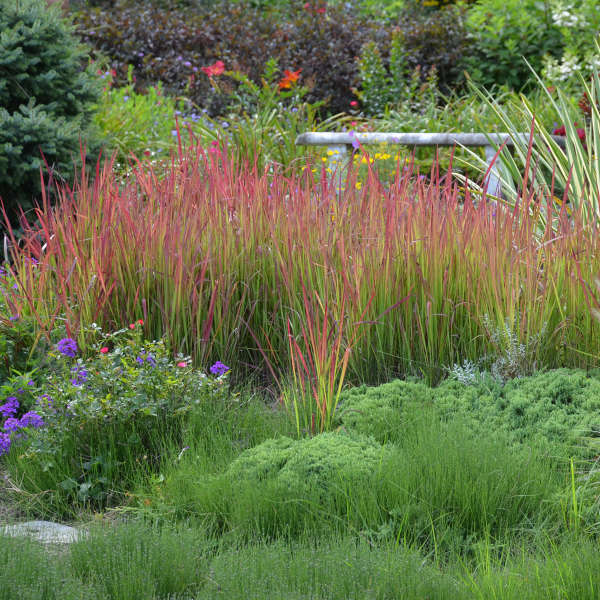 Imperata 'Red Baron' Japanese Blood Grass