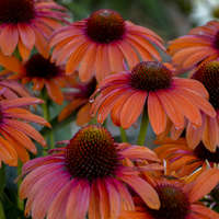 Echinacea 'Orange You Awesome'