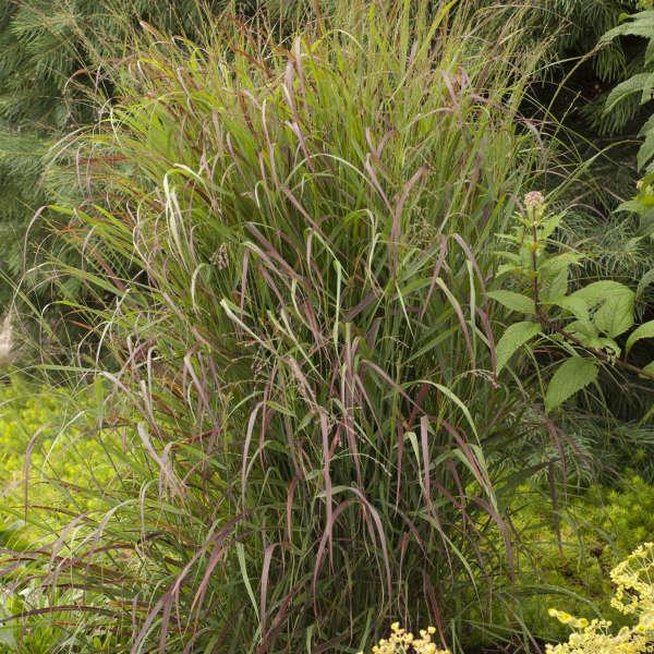 Panicum 'Prairie Fire' Switch Grass