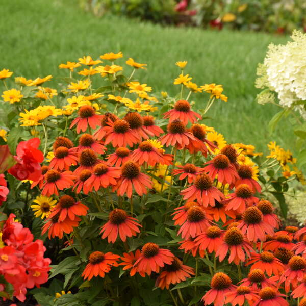 Echinacea LAKOTA™ Fire Coneflower