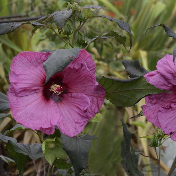 Hibiscus 'Fantasia' Rose Mallow