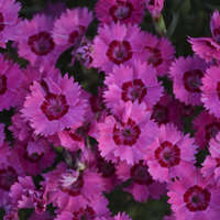Dianthus 'Paint the Town Fancy'