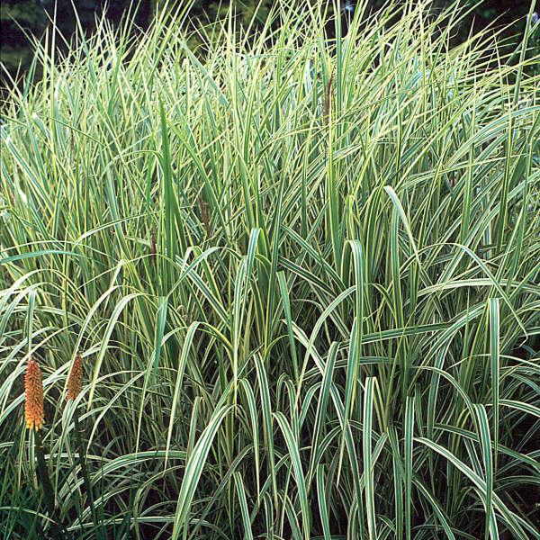 Miscanthus 'Variegatus' Striped Eulalia Grass