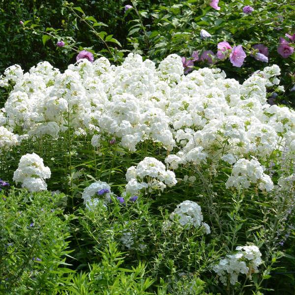 Phlox 'David' Tall Garden Phlox