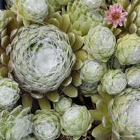 Sempervivum 'Cobweb'