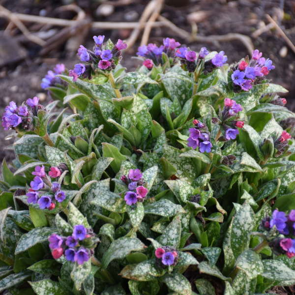 Pulmonaria 'Spot On' Lungwort