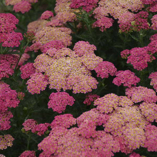Achillea 'Sassy Summer Taffy' Yarrow