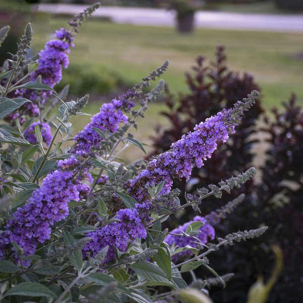 Buddleia 'Lavender Cupcake' Butterfly Bush