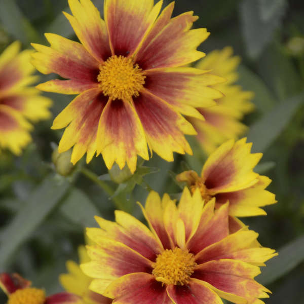 Coreopsis 'Enchanted Eve' Tickseed