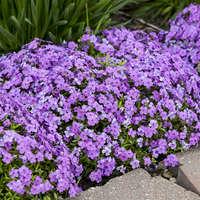 Phlox 'Purple Sprite'