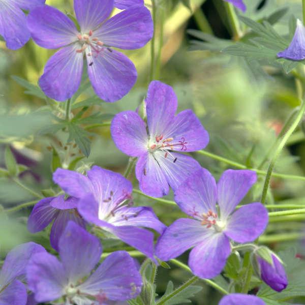 Geranium 'Johnson's Blue' Hardy Geranium