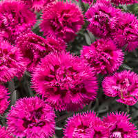 Dianthus 'Spiked Punch'