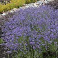 Lavandula 'Essence Purple'