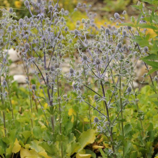Eryngium 'Blue Glitter' Sea Holly