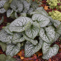 Brunnera 'Jack of Diamonds'
