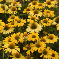 Echinacea 'Yellow My Darling'