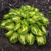 Hosta 'Etched Glass'