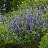 Baptisia 'Blueberry Sundae'