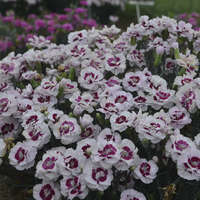 Dianthus 'Kiss and Tell'