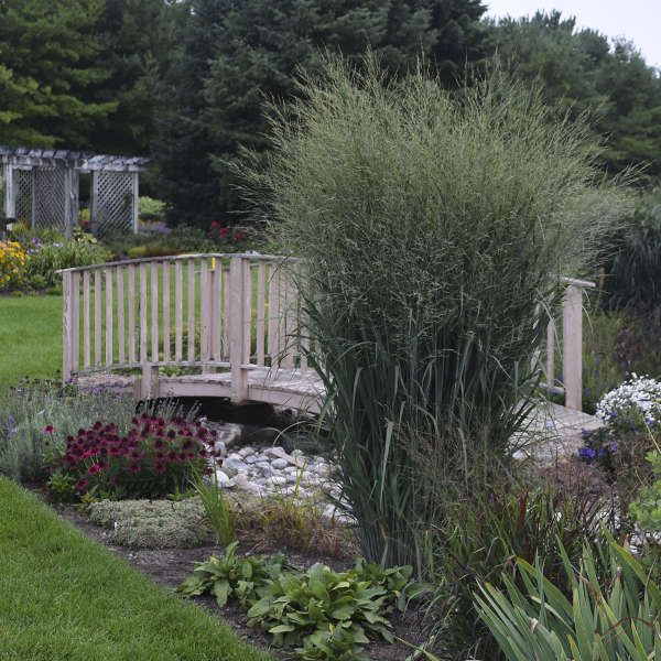 panicum virgatum 39 totem pole 39 ppaf cpbraf perennial resource. Black Bedroom Furniture Sets. Home Design Ideas