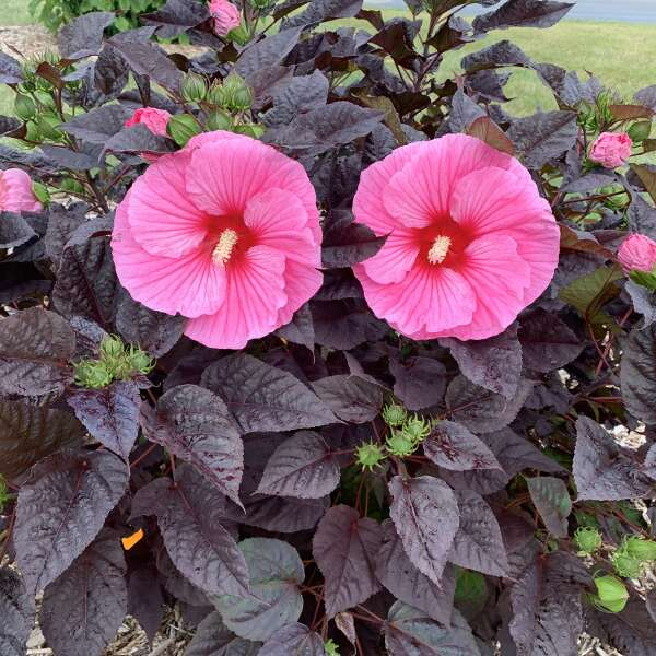 Hibiscus 'Edge of Night' Rose Mallow