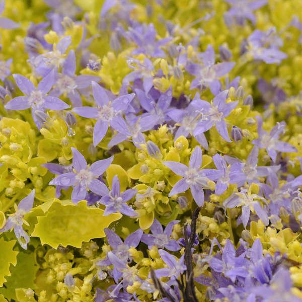 Campanula 'Dickson's Gold' Bellflower