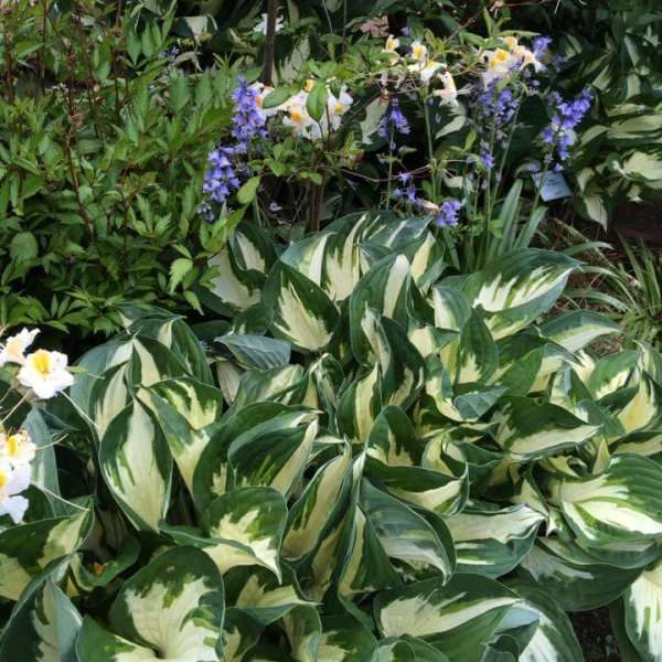 Hosta 'Fire and Ice' Hosta