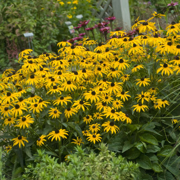 Rudbeckia 'City Garden' Black-Eyed Susan