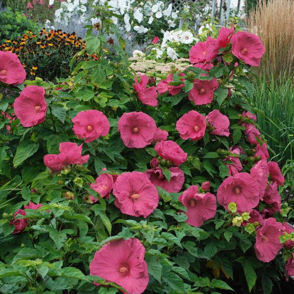 Hibiscus Jazzberry Jam Cpbr4255 Perennial Resource
